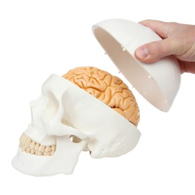 3-Part Human Skull Model with Removable 8-Part Brain