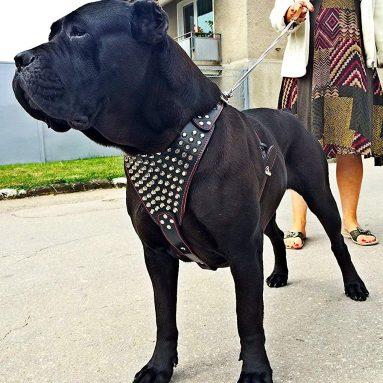 "Bestia ""Gladiator"" genuine leather dog harness"