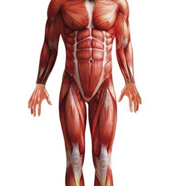 Men's Muscle Anatomy Anatomical Body Structure Bodysuit
